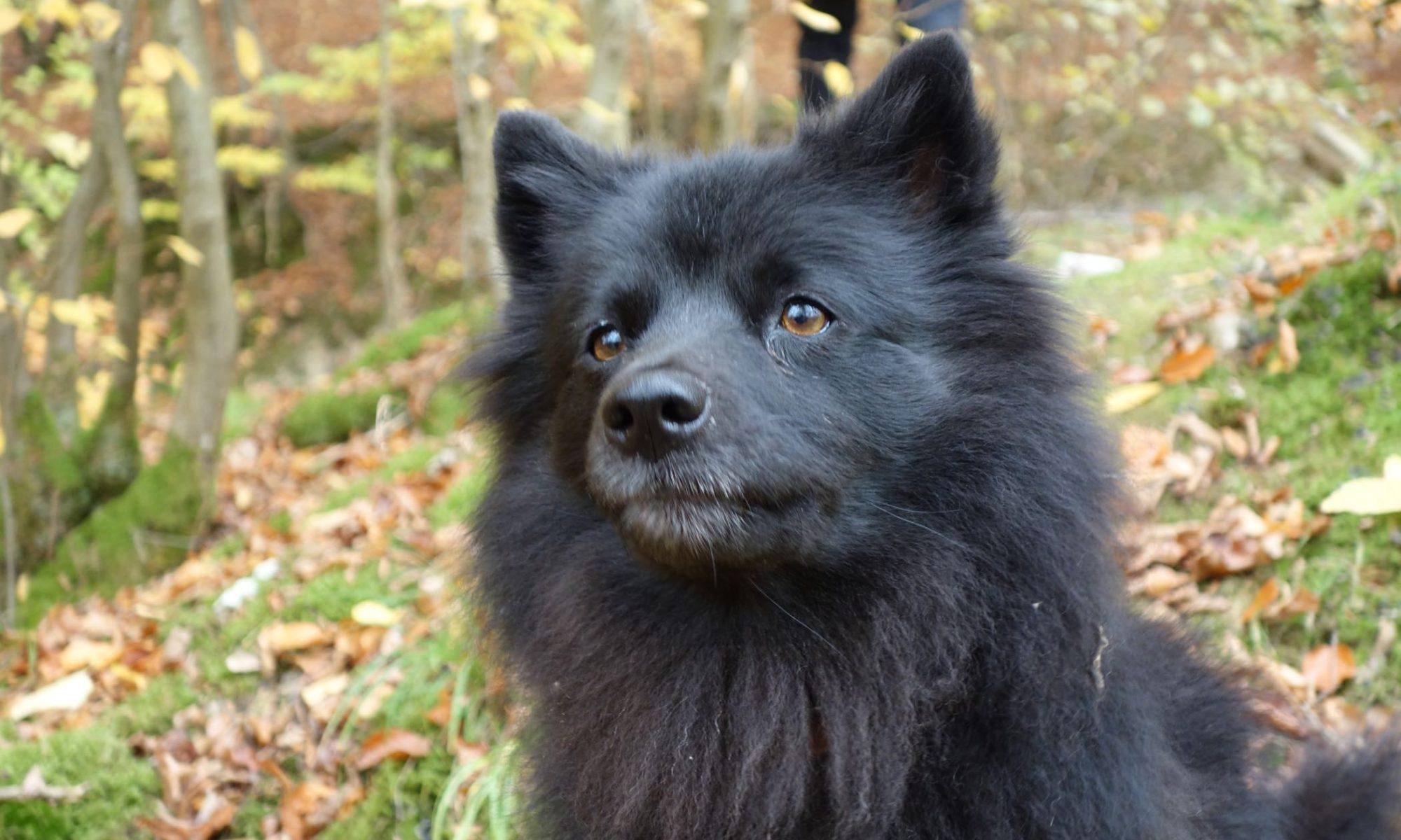 Großspitz vor den Buchenstämmen im Herbstwald - seelenvoll blickt sie in die Kamera